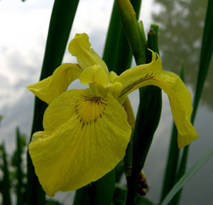 Ирис желтый
