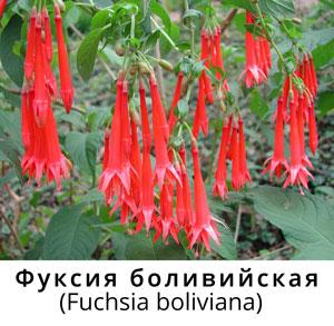 Фуксия боливийская