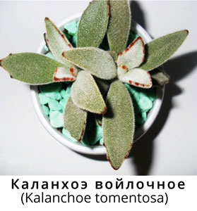 Каланхоэ войлочное
