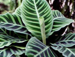Калатея, листья