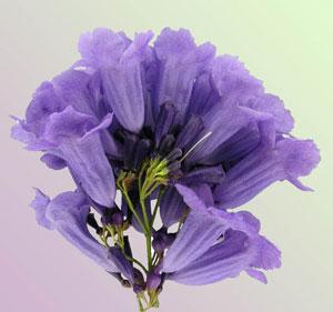 Жакарда, цветы