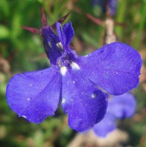 Лобелия цветок