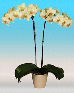 Фаленопсис, орхидея