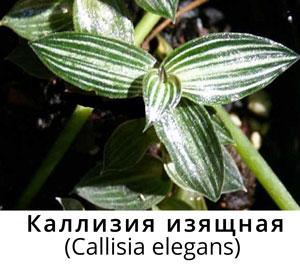 Каллизия