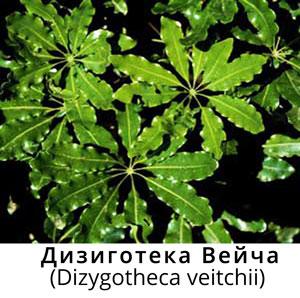 Dizygotheca-4