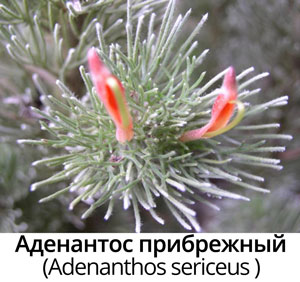 Аденантос