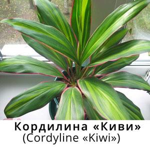 Корделина