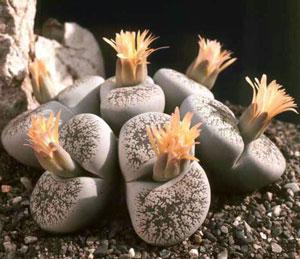 Каменный цветок суккулент