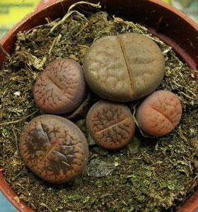 растение каменный цветок фото