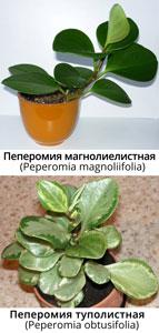 Пеперомия