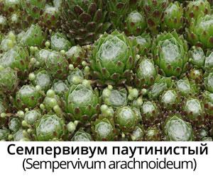 Семпервивум